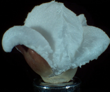 Vidéo : L'explosion d'un pop-corn en ultra slow motion !